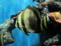 Orbicular batfis