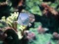 Horn-nosed boxfish